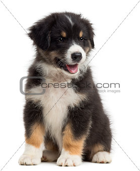 Australian Shepherd puppy, 8 weeks old, sitting and looking away