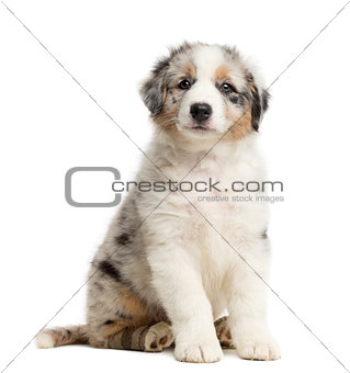 Australian Shepherd puppy with bandage, 8 weeks old, sitting, portrait against white background