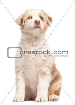 Australian Shepherd puppy, 8 weeks old, sitting and looking up against white background