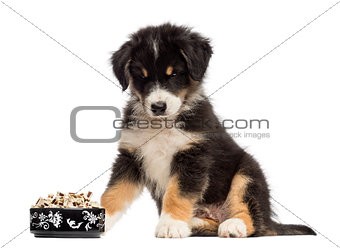 Australian Shepherd puppy, 2 months old, sitting and looking at bowl of food against white background