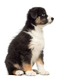 Australian Shepherd puppy, 2 months old, sitting and looking up against white background