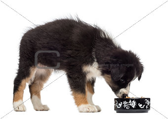 Australian Shepherd puppy, 2 months old, standing and eating from bowl against white background