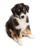 High view of an Australian Shepherd puppy, 2 months old, sitting against white background
