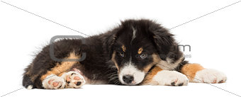 Australian Shepherd puppy, 2 months old, lying against white background