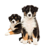 Two Australian Shepherd puppies, 2 months old, sitting with focus on foreground against white background