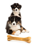Two Australian Shepherd puppies, 2 months old, lying and looking at knuckle bone against white background