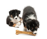 Two Australian Shepherd puppies, 2 months old,  one watching other eating knuckle bone against white background