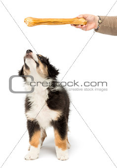 Australian Shepherd puppy, 2 months old, looking at knuckle bone against white background
