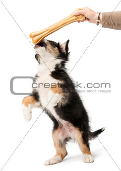 Australian Shepherd puppy, 2 months old, reaching knuckle bone against white background