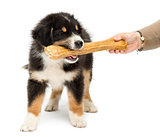 Australian Shepherd puppy, 2 months old, holding knuckle bone in its mouth against white background