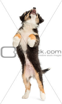 Australian Shepherd puppy, 2 months old, leaping and reaching against white background