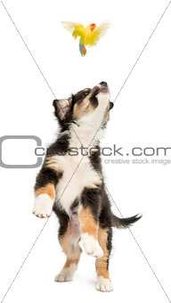 Australian Shepherd puppy, 2 months old, leaping and trying to catch lovebird against white background