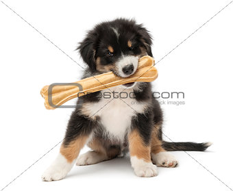 Australian Shepherd puppy, 2 months old, sitting and holding knuckle bone in its mouth against white background