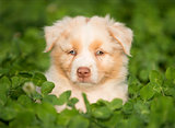 Australian Shepherd puppy outdoors