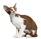 Oriental shorthair sitting against white background
