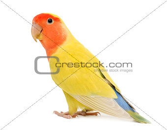 Portrait of Rosy-faced Lovebird, Agapornis roseicollis, also known as the Peach-faced Lovebird against white background