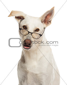Portrait of Crossbreed dog wearing glasses against white background
