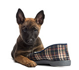 Belgian Shepherd puppy lying on a slipper, portrait against white background