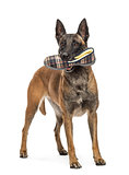 Belgian Shepherd standing and holding a slipper in mouth against white background