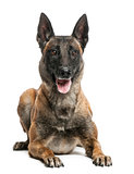 Belgian Shepherd lying against white background