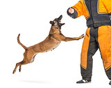 Belgian Shepherd jumping to attack trainer wearing body bite suit against white background