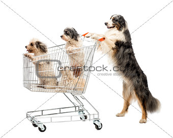 Australian Shepherd standing on hind legs and pushing a shopping cart with dogs against white background