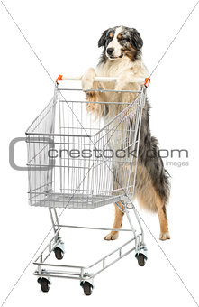 Australian Shepherd stand on hind legs and pushing a shopping cart, winking against white background