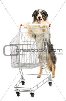 Australian Shepherd stand on hind legs and pushing a shopping cart against white background