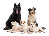Belgian shepherd-Groenendael, Australian Shepherd and Jack Russell terrier against white background