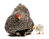 Chicks hiding themselves under mother Hen against white background