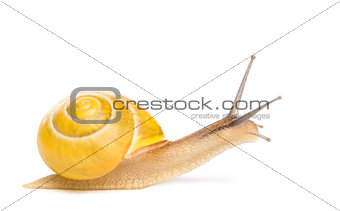 Grove snail or brown-lipped snail without dark bandings, Cepaea nemoralis, in front of white background