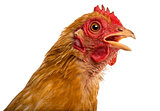 Close up of a dirty Crossbreed rooster, Pekin and Wyandotte, against white background