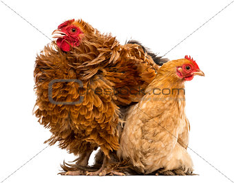 Crossbreed rooster, Pekin and Wyandotte, standing next to a Pekin bantam hen lying against white background