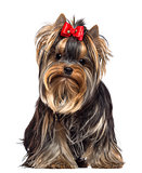 Yorkshire Terrier, 8 months old, sitting and looking at camera against white background