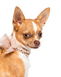 Chihuahua, 7 months old, wearing lace collar and looking at camera against white background