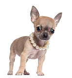 Chihuahua puppy, 4 months old, wearing pearl necklace and looking at camera, against white background