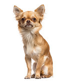 Chihuahua sitting and looking away against white background