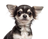 Close-up of Chihuahua looking at camera against white background