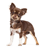 Chihuahua looking at camera against white background
