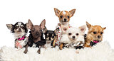 Chihuahuas dressed and lying on white fur against white background
