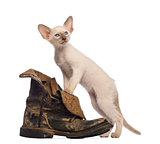Oriental Shorthair kitten standing on dirty boot against white background