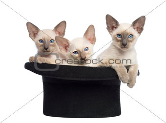 Three Oriental Shorthair kittens, 9 weeks old, sitting in magician's hat, against white background