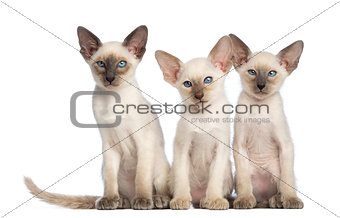 Three Oriental Shorthair kittens sitting and looking at camera against white background
