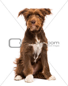 Crossbreed, 5 months old, sitting against white background