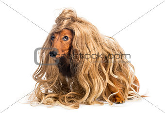 Dachshund, 4 years old, wearing a blond wig against white background