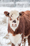 cow in winter
