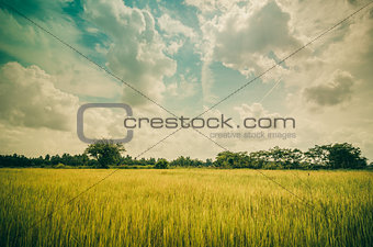 Green grass rice and sky