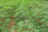 manioc plants are growing in the field