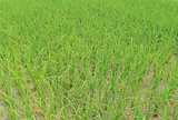 the rice sapling are growing up in rice field