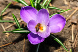 honey bee at violet crocus flower